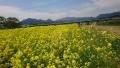 おおさき鳴子温泉 菜の花フェスティバルに行ってきました